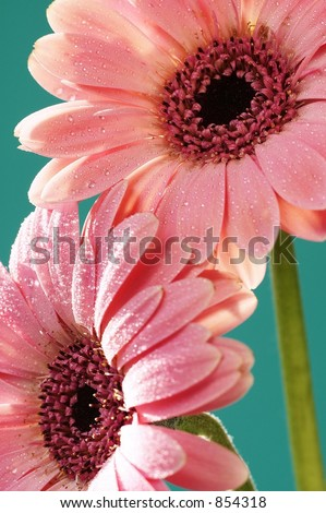 Pink Gerber Daisies on turquiose background