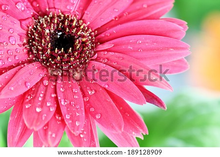Pink gerber daisy macro with water droplets on the petals.. Extreme shallow depth of field.