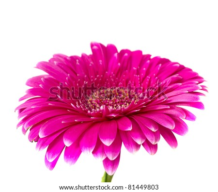 Pink Gerber isolated on white