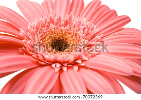 Pink gerbera close up, isolated on white