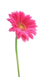 Pink gerbera daisies isolated on white background