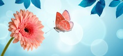 Pink gerbera daisy flower and flying butterfly on blue background. Spring morning background, banner.