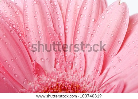 Pink gerbera daisy flower on a white background