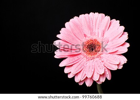 Pink gerbera daisy flower with water drops on a black background - stock photo