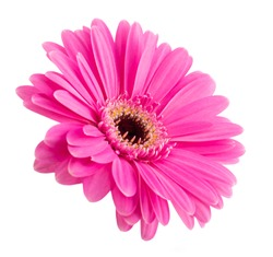Pink Gerbera flower head isolated on white background