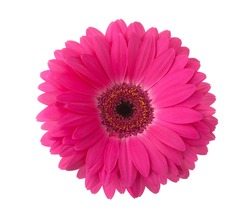 Pink gerbera flower isolated on white background.