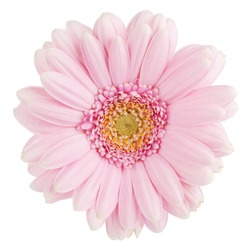 Pink gerbera flower. Isolated on white background
