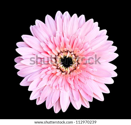 pink gerbera flower on black background with clipping path