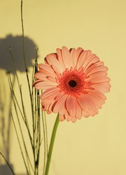 pink gerbera on a yellow background with shadow