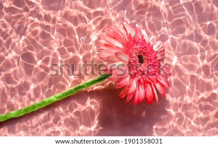 Pink gerbera or barberton daisy flower on water surface with ripples and sunlight reflections. Beauty spa, relaxation or wellness treatment. Youth, freshness and tenderness concept. Summer background Foto stock ©