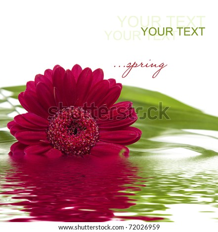 pink gerbera with green leaf  in water