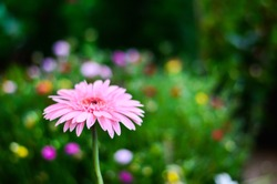 pink gerberas grow in modern greenhouse under artificial growlight. Gerbera jamesonii/Gerbera daisy/Robert Jameson. blurred background.