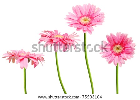 Pink Gerberas on isolated white