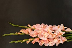 Pink gladioluses on black background. Gladiolus with copy space. Greeting card fo Valentine's day, mothers day. Flat lay, top view. Frame of flowers.