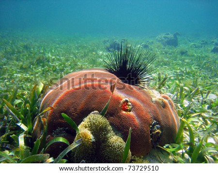 Pink hard coral with long spined sea urchin and anemone, Caribbean sea, Panama