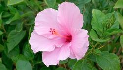 Pink Hawaiian hibiscus. Pink Hibiscus flower in the garden