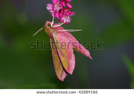 pink hawk moth in the red flowers