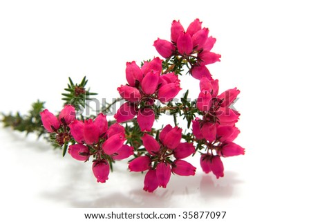 pink Heather flower in closeup isolated on white background