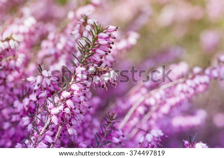 Pink heather shrub inflorescence on a blurry background early pink heather shrub inflorescence on a blurry background early spring flowers mightylinksfo