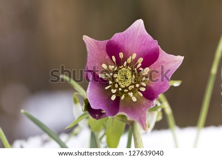 Pink  Hellebore (Helleborus niger) or Christmas Rose flowers in their natural habitat,  shallow DOF