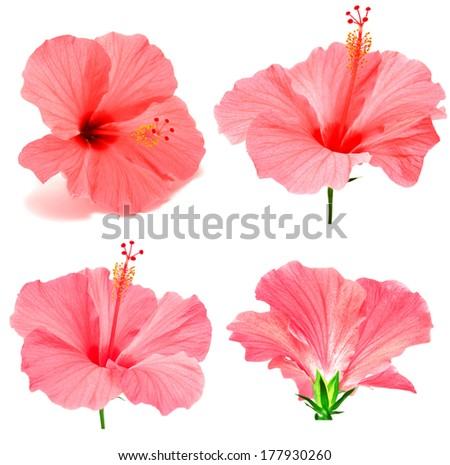 Pink hibiscus collection isolated on white background
