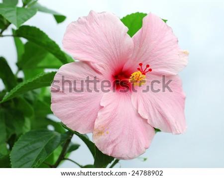 stock photo pink hibiscus flower closeup