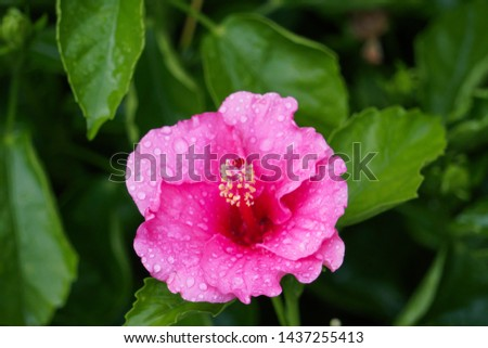 Pink Hibiscus Flower green background with Water Drops #1437255413