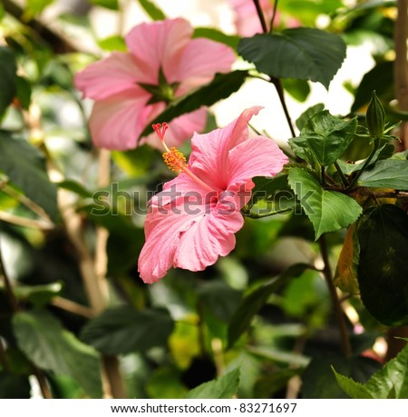 Pink Hibiscus Flowers in a tropical garden