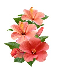 pink hibiscus flowers isolated and leaves