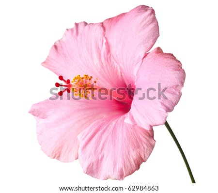 Pink hibiscus isolated on white background.  Clean pure white background- no grey!