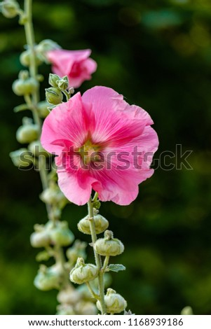 pink hollyhock flowers on the...