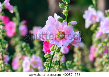 Pink Hollyhock in park, Closeup shot with back lighting.