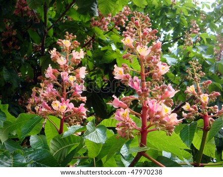 Horse In Latin Pink Horse-chestnut blossoms