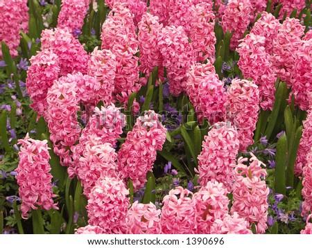Pink Hyacinth - stock photo