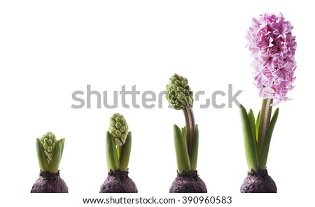 Pink Hyacinth bulb in four stages of blooming