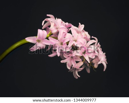 Pink hyacinth closup, beautiful spring flower. On charcoal grey. #1344009977