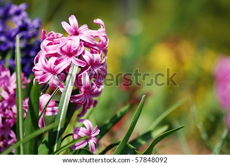 Pink hyacinths (Hyacintus orientalis) flower in bloom. Beautiful spring flora with shallow DOF