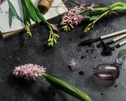 Pink hyacinths lie in the water. Transplanting indoor plants and color. Nearby are mini garden tools: a rake, a shovel, and lumps of earth. The book is open. Spring mood. Home affairs. Spring flowers.