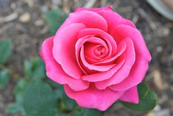 Pink Hybrid Tea rose (Rosa) Charisma blooms in a garden in June
