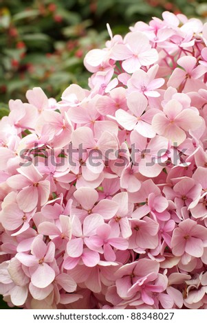 Pink hydrangea blooming, a vertical picture