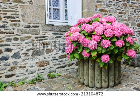 Pink hydrangea bush in wooden pot outside the old stone house under the window with lace curtain and metal shutters. Dol de Bretagne, Brittany, France.