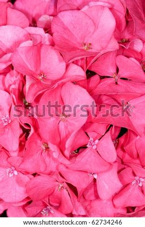 Pink Hydrangea Close-Up
