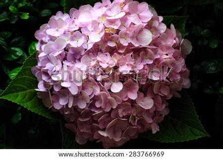 Pink Hydrangea flower. Hydrangea - common names Hydrangea and Hortensia.