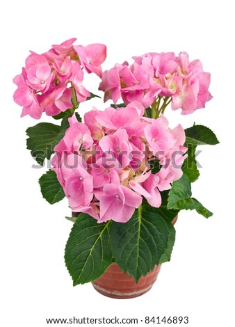 Pink hydrangea flower in a pot, isolated on white background