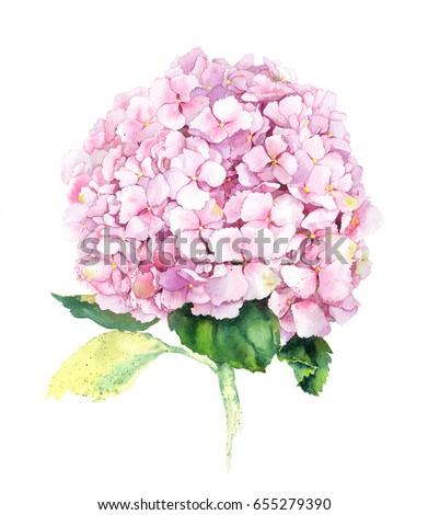 Pink hydrangea flower. Watercolor.