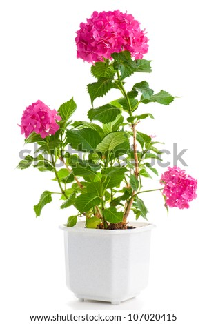 Pink hydrangea in the pot isolated on white background