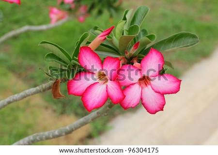 Pink impala lily