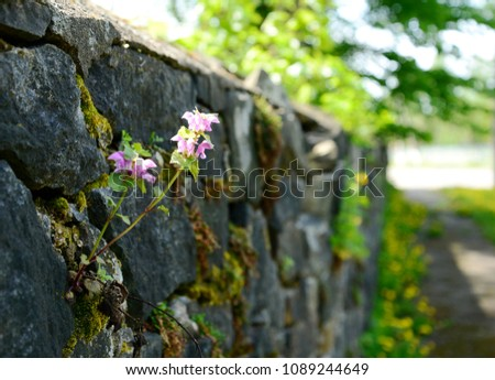 Pink isolated flower growing on stone wall #1089244649