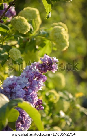 Pink isolated lilac with green garden background