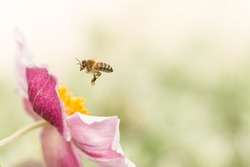 Pink Japanese anemone and a hoverfly in flight.